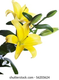 yellow Lilies isolated over white background