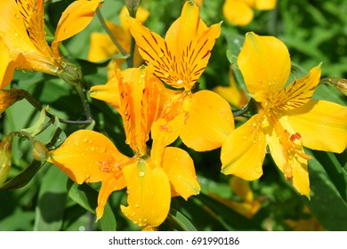 Yellow lilies with water drops