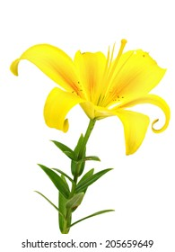 Yellow lilly flower on a white background