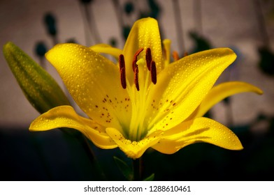 Yellow lily flower & bud, leaves lilium waterdrops background. Beautiful yellow lily (lilium) in dark summer flower garden. Close-up yellow lily bush in evening flower bed. Gentle lilium lilly print