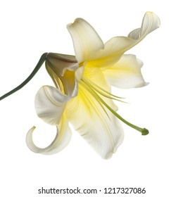 Yellow lily flower isolated on white background.