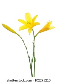 Yellow lily in front of a white background