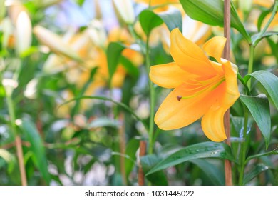 yellow lily in the garden