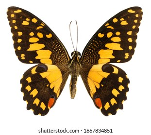 Yellow Lime Butterfly, Papilio demoleus, butterfly isolated on white background.