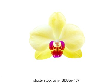 Yellow Lime Light orchid isolated on white background. Beauty sunny orchidea Phalaenopsis flower close up