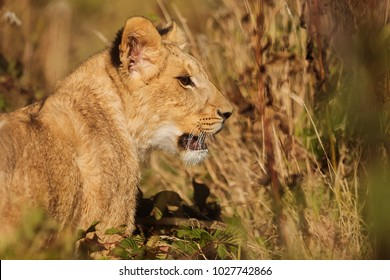 yellow lioness with background yellow grass