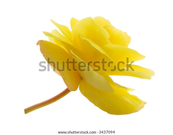 Yellow lisianthus flower