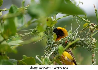 A yellow little bird building a bird's nest.