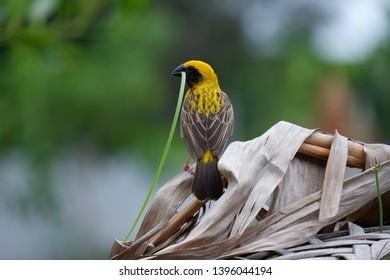 A yellow little bird holding grass to build a bird's nest.