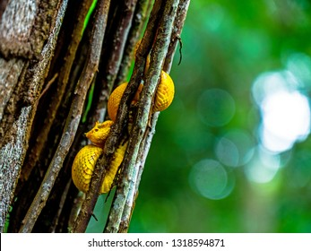 yellow little Eyelash Viper snake tangled up in tree in cahuita national park costa rica jungle closeup