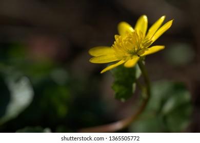 yellow little flower in spring garden