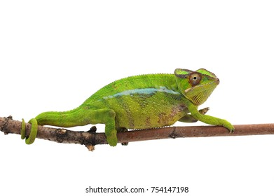 Yellow lizard Panther chameleon isolated on white background