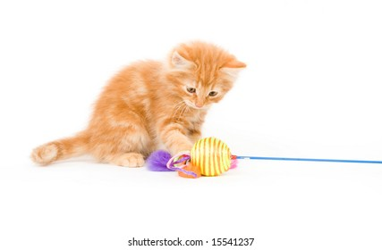 A yellow long-haired kitten plays with a colorful toy while sitting on a white background. One in a series.