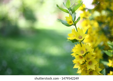 Yellow loosestrife in a garden with beautiful flowers. moneywort on the background of green summer leaves. Natural background