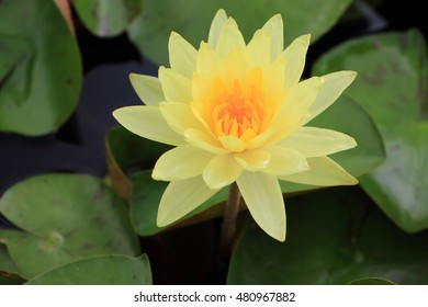 yellow lotus with black background and leaf