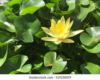 Yellow lotus blooming on tub of Thailand.