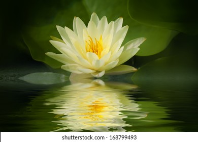 Yellow Lotus Images Stock Photos Vectors Shutterstock