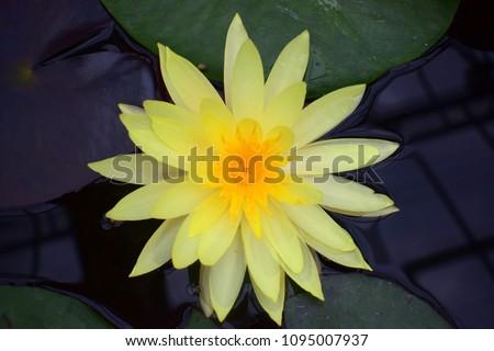 Yellow Lotus Flower Nelumbo Lutea Species Stock Photo Edit Now