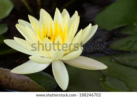 Yellow lotus flower water lily flowers stock photo edit now yellow lotus flower or water lily flowers blooming on pond mightylinksfo