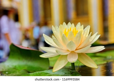 the yellow lotus WAT PRAKEAW  with blur background