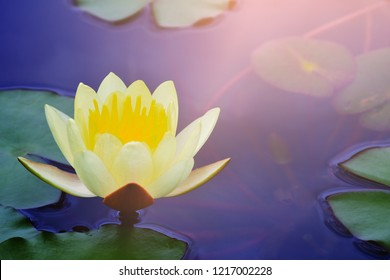 yellow lotus water lily blooming on water surface, purity nature background, aquatic plant, symbol of buddhism.