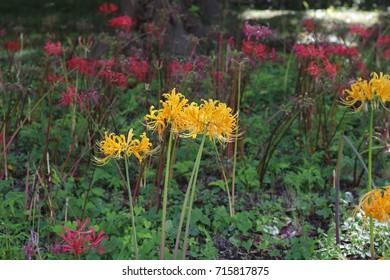 Yellow lycoris radiata