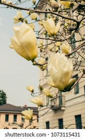 Yellow Magnolia blossom, selective focus