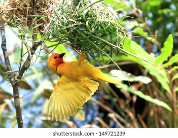 Yellow Male Weaver making a nest hoping to attract a female, Kenya