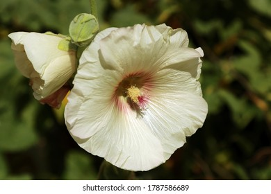 Yellow mallow, common hollyhock (Alcea rosea) in garden.