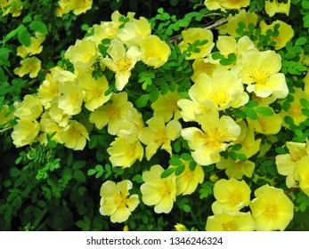 Yellow Manchu Rose, Rosa xanthina Canary Bird shrub blooming
