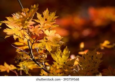Yellow maple, autumn, autumnal scene