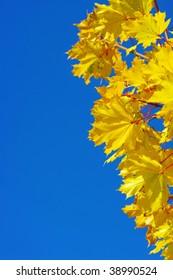 yellow maple at autumn on the blye sky