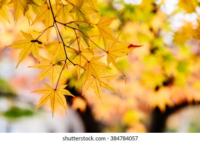 Yellow maple leaf, background with selective focus