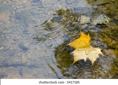 Yellow maple leaf floating in stream