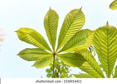 Yellow maple leaf in Green chestnut leaf against the sky hand