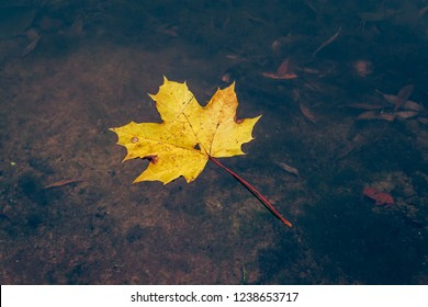 Yellow maple leaf has fallen into the water