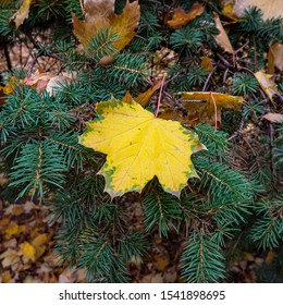 yellow maple leaf lies on the green branches of a spruce. Autumn season, October. Photo for Design.