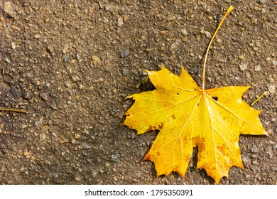 Yellow maple leaf on the asphalt. Symbol of autumn - fallen leaf of a tree on a dark background. Fallen autumn brown maple leaf on road. Copy space. Top view