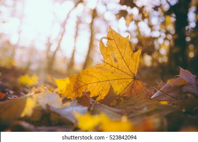 Yellow maple leaf on the ground in autumn sunlight