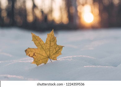 Yellow maple leaf in snow. Late fall and early winter.