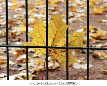 Yellow maple leaf stuck on metal wire fence with blurry fallen leaves in background