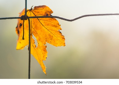 Yellow maple leaf symbolizes autumn. Acer. Beautiful close-up of the dry fallen leaf on a wire fence with a blurred natural background. Small depth of field.