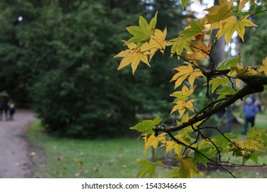 yellow maple leaves against green tree background