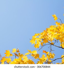 yellow maple leaves in  autumn park on bright blue sky background