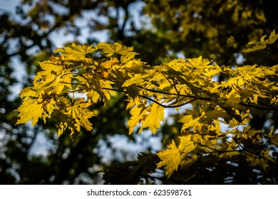 Yellow maple leaves of the fall