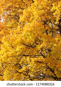 Yellow Maple leaves in a fall natural background