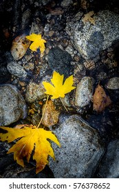 Yellow Maple leaves floating in a small stream filled with rocks during the fall season at Yosemite National Park
