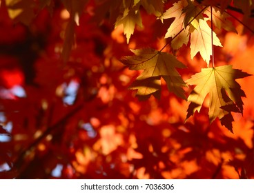 Yellow maple leaves in front of a red and orange maple leave background