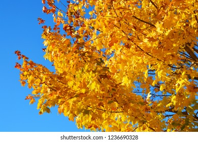 Yellow Maple Leaves on the Blue Sky Background, sunny day