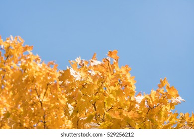 Yellow maple leaves on a blue sky background